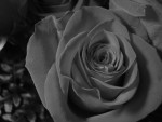 Black and white bloom