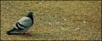 Orange Pigeon