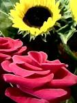sun rose flower