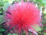 Red Fury Flower